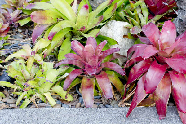 Neoregelia Bromeliad plant in garden. Stock photo © art9858