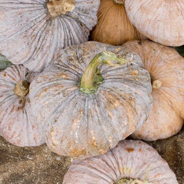 Pumpkin Stalks Stock photo © art9858