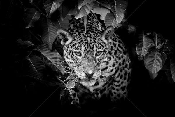 Jaguar portre göz mavi siyah sonbahar Stok fotoğraf © art9858