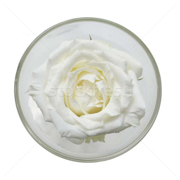 Vetro uno grande bianco rosa fiore Foto d'archivio © art9858