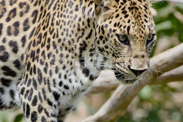 Leopardo retrato cara naturaleza gato negro Foto stock © art9858