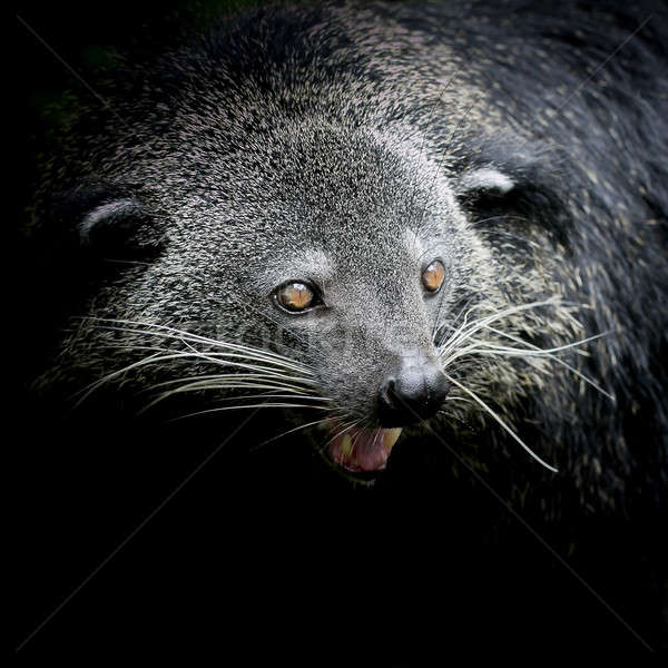 Close-up of a Binturong Stock photo © art9858