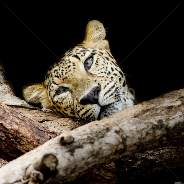 close up sleepy Leopard Portrait Stock photo © art9858