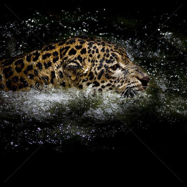 Jaguar плавать глаза черный осень цвета Сток-фото © art9858