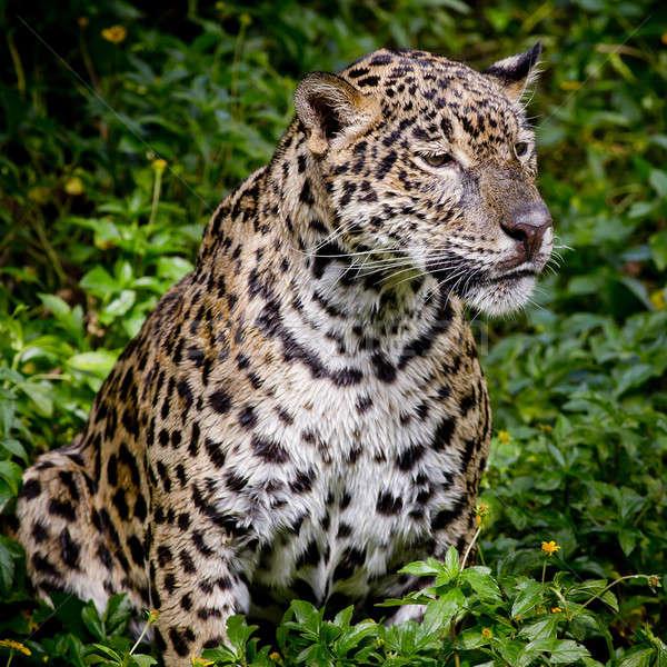 Stock photo: close up Jaguar Portrait