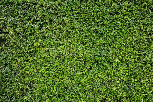 Green grass background texture. Stock photo © art9858