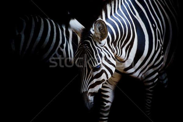 Zèbre texture résumé nature noir blanche Photo stock © art9858