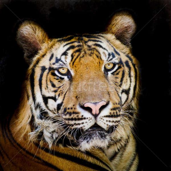 Tiger Stock photo © art9858
