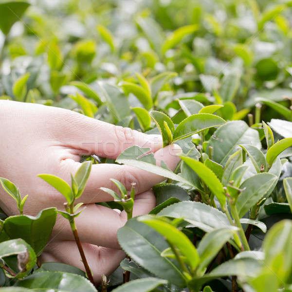 tea picking hand Stock photo © art9858