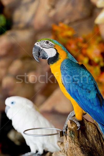 couple macaws sitting on log. Stock photo © art9858