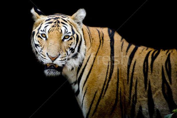 Tygrys portret bengalski czarny głowie piękna Zdjęcia stock © art9858