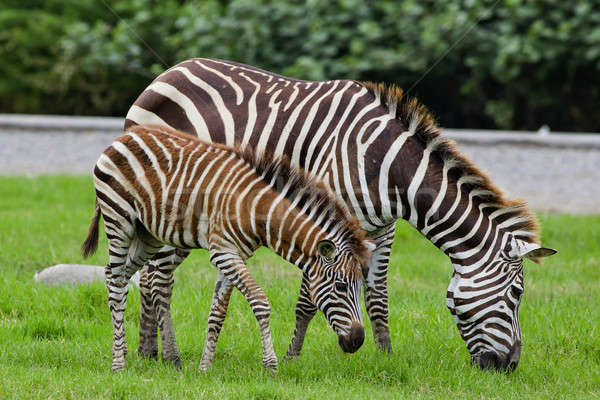zebra with young one Stock photo © art9858