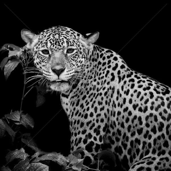 Jaguar portre göz yüz kedi arka plan Stok fotoğraf © art9858