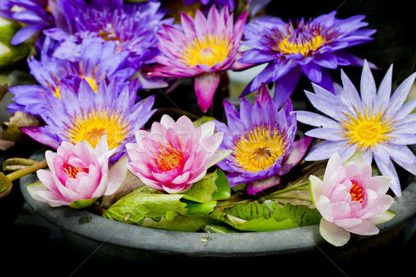 Lotus multicolored many colorful lotus flowers in earthen basin stock photo lotus multicolored many colorful lotus flowers in earthen basin stock photo lotus multicolored many colorful lotus flowers mightylinksfo