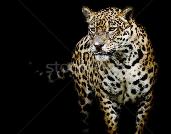 Jaguar portre kedi Afrika siyah Stok fotoğraf © art9858