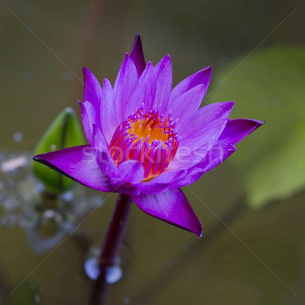 Violet Lotus Flower Closeup Stock photo © art9858