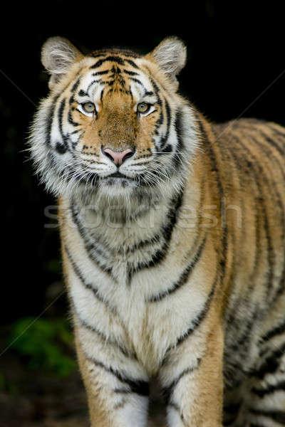Tigre cara belleza verde cabeza animales Foto stock © art9858