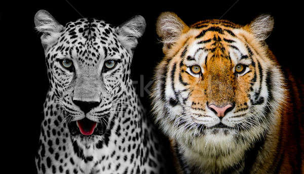 Straight face of Leopard and Tiger. (And you could find more ani Stock photo © art9858