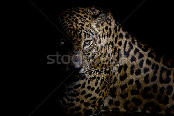 Leopard portrait isolate on black background Stock photo © art9858