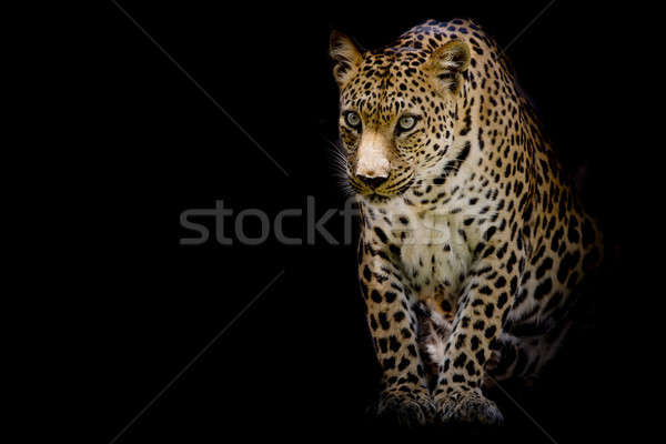 Leopard portrait noir visage Photo stock © art9858