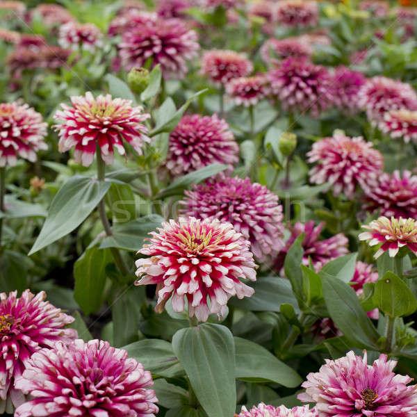 Foto stock: Belo · rosa · flores · céu · flor · primavera