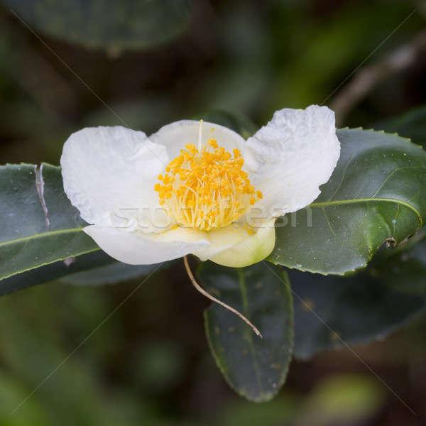 Mooie voorjaar witte bloem groen blad Stockfoto © art9858