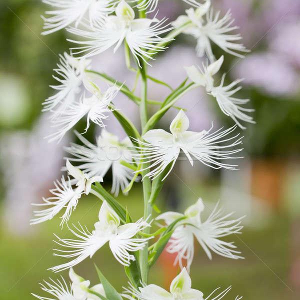 şube beyaz çiçekler çiçek bahar yaprak Stok fotoğraf © art9858