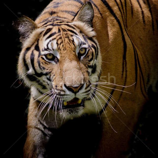 Gyönyörű tigris sétál lépés izolált fekete Stock fotó © art9858