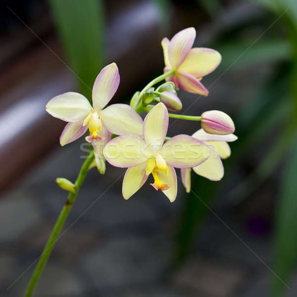Yellow orchid Stock photo © art9858