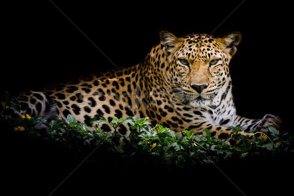Leopard portrait arbre chat bouche Photo stock © art9858