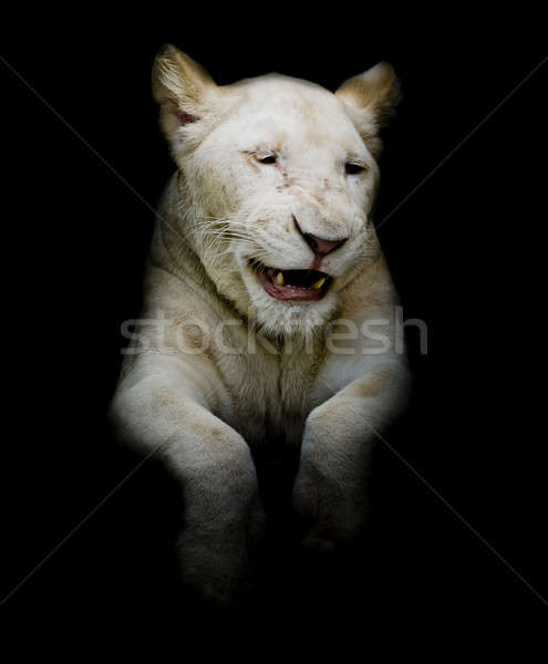 Cuties White lion Stock photo © art9858
