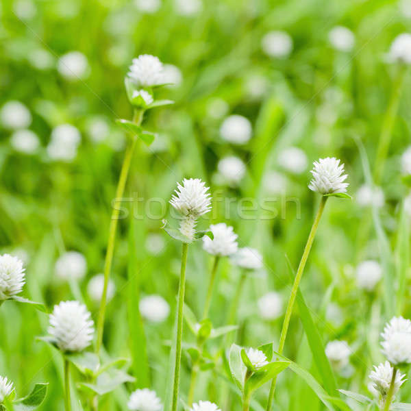 Klein witte bloemen bloem blad zomer groene Stockfoto © art9858