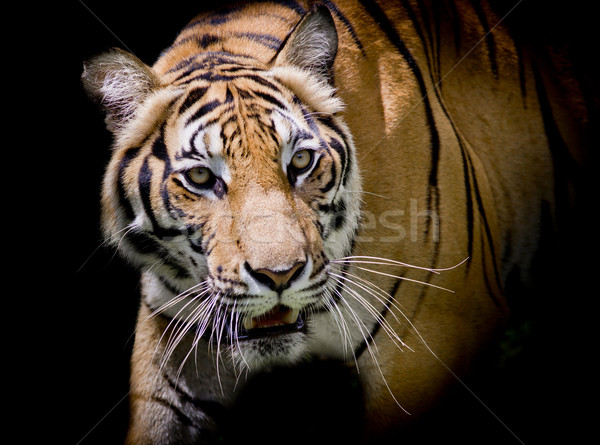 Tiger looking his prey and ready to catch it. Stock photo © art9858