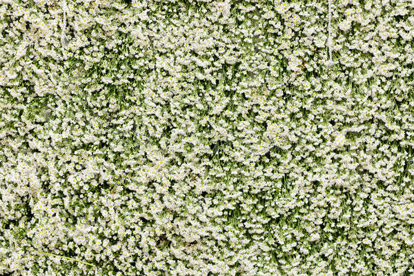 Green wall of Ivy leaves Stock photo © art9858