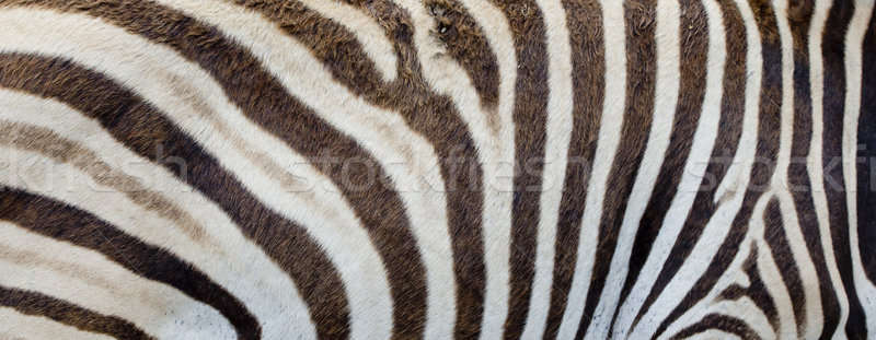 Zebra background Stock photo © art9858