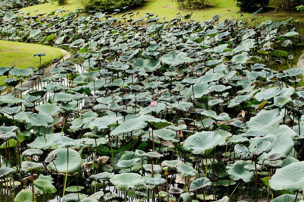 Water lily Stock photo © art9858