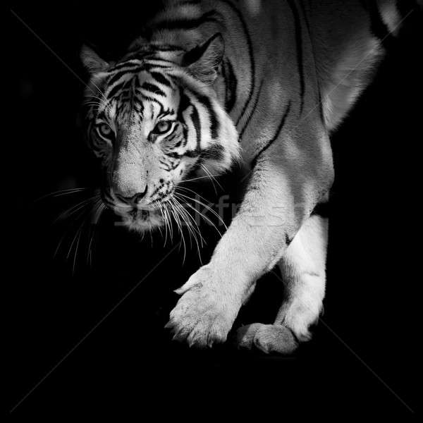 black & white tiger walking step by step isolated on black backg Stock photo © art9858