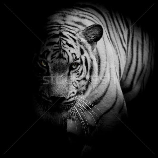 White tiger isolated on black background Stock photo © art9858