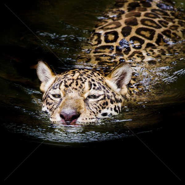 Jaguar swim Stock photo © art9858