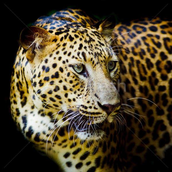 Leopard ritratto faccia cat tigre parco Foto d'archivio © art9858