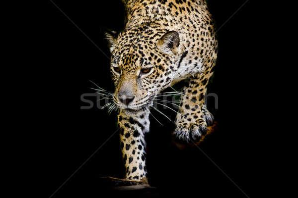 close up Jaguar Portrait Stock photo © art9858