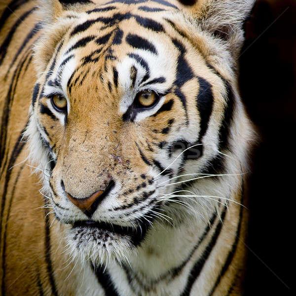 Tygrys charakter śniegu zimą portret czarny Zdjęcia stock © art9858