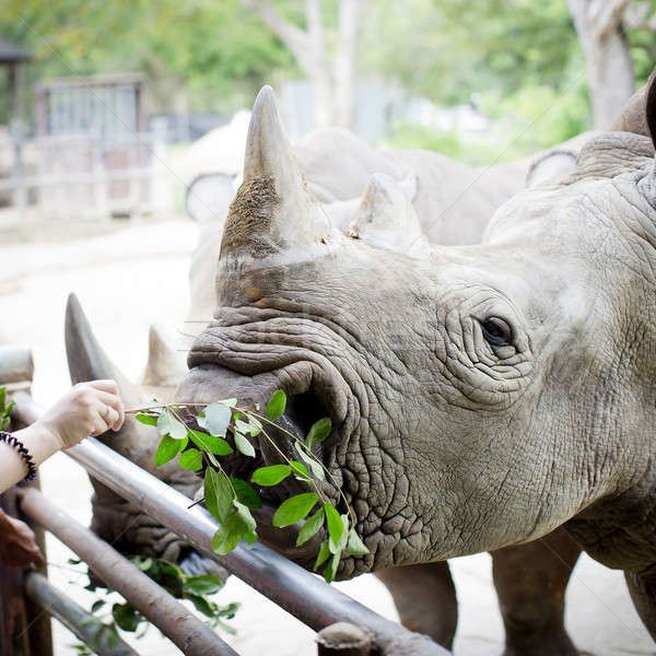 Stock photo: Closeup shot at the head of Rhino eating leaves