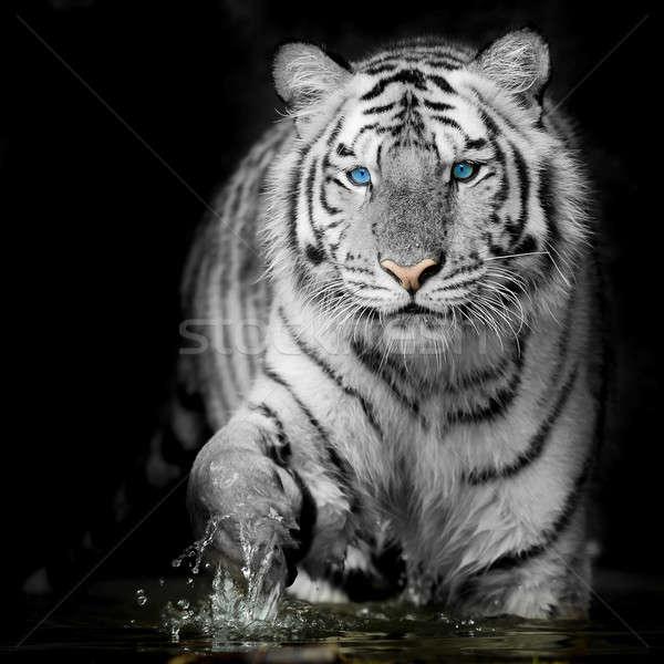 Zwarte witte tijger kat winter asia Stockfoto © art9858