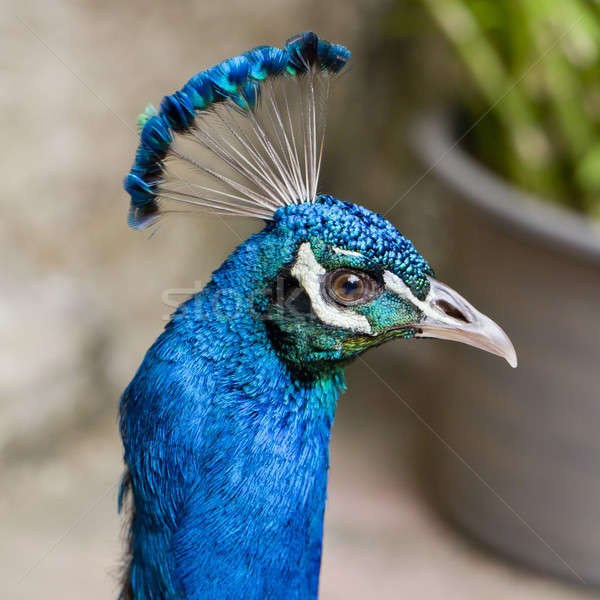 Belle tête paon nature beauté Photo stock © art9858