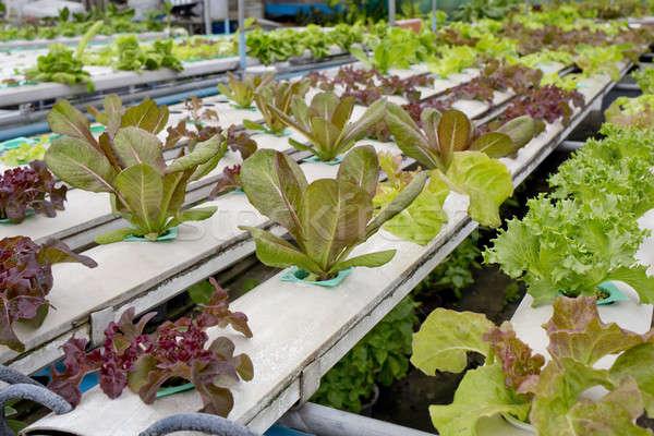 Organic hydroponic vegetable garden in Thailand merket Stock photo © art9858