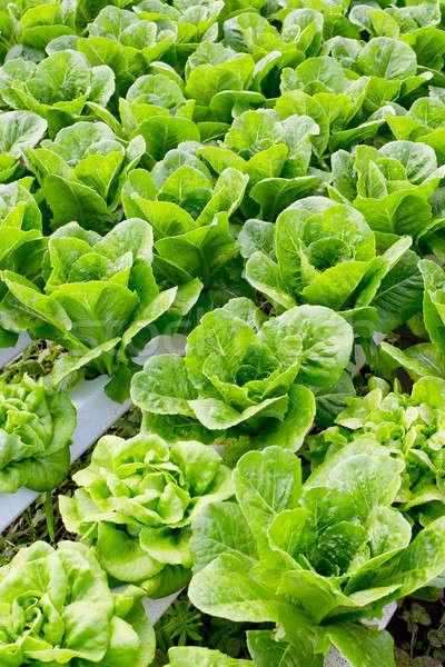 Organisch plantaardige boerderij blad tuin plant Stockfoto © art9858