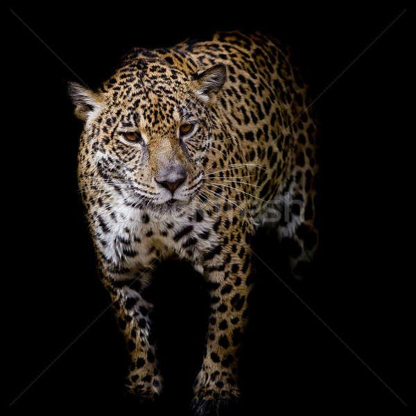 ストックフォト: ジャガー · 肖像 · 眼 · 虎 · 黒