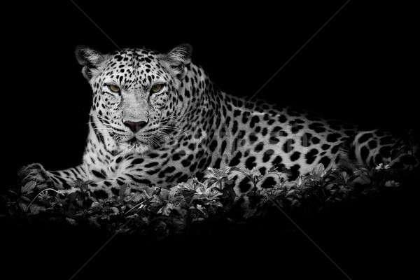 close up Leopard Portrait Stock photo © art9858