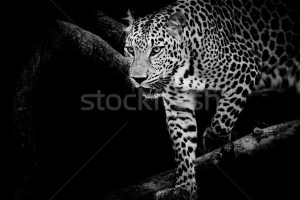 Leopard portrait visage chat parc animaux Photo stock © art9858